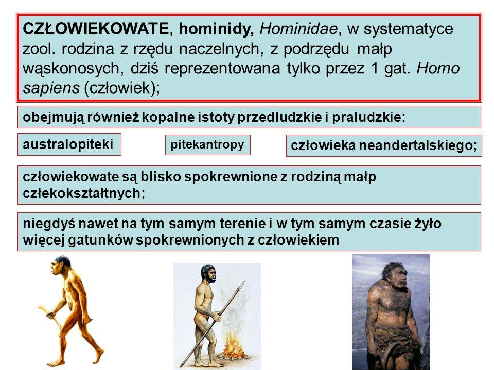 CZŁOWIEKOWATE, hominidy, Hominidae, w systematyce zool. rodzina z rzędu naczelnych, z podrzędu małp wąskonosych, dziś reprezentowana tylko przez 1 gat