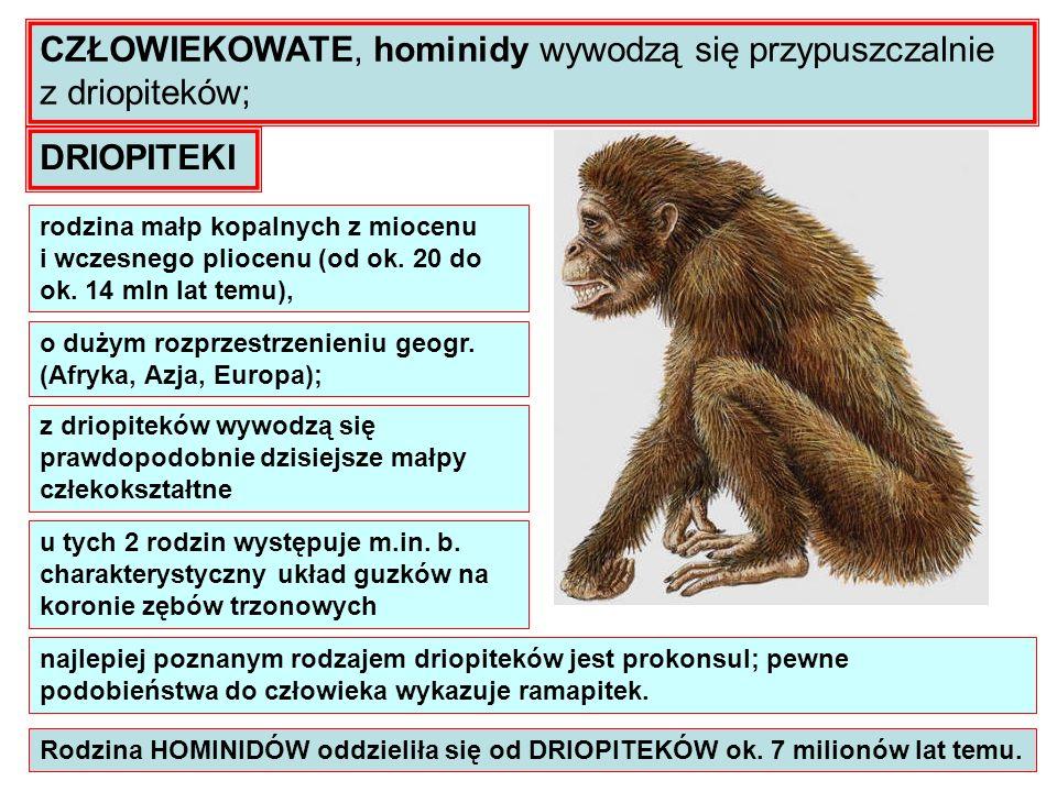 Rodzina HOMINIDÓW oddzieliła się od DRIOPITEKÓW ok. 7 milionów lat temu. CZŁOWIEKOWATE, hominidy wywodzą się przypuszczalnie z driopiteków; DRIOPITEKI