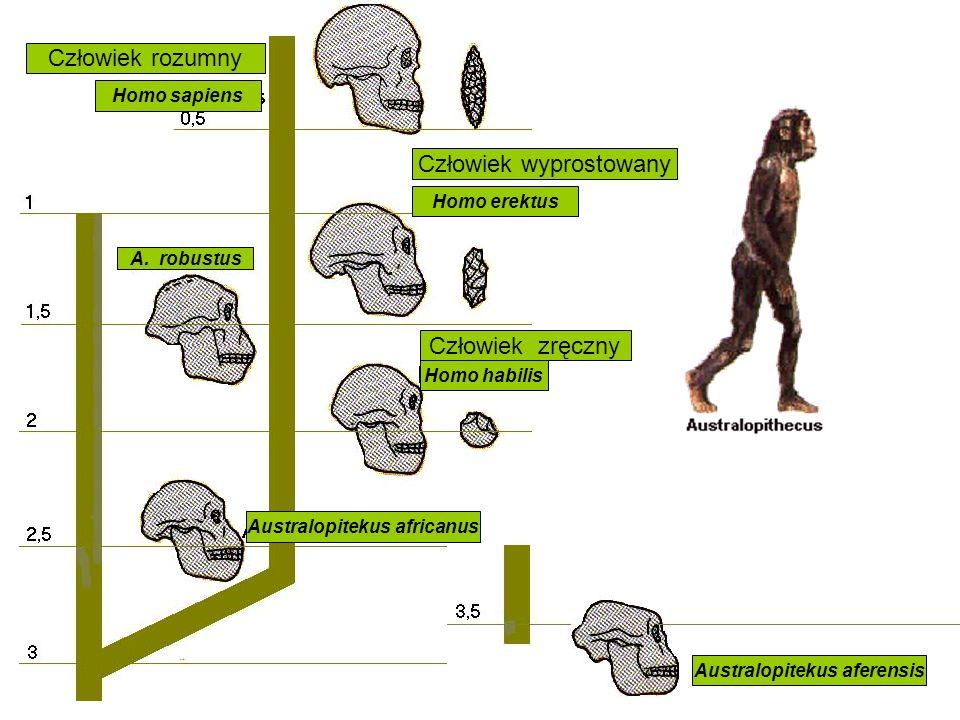 Człowiek wyprostowany Homo erektus Człowiek zręczny Homo habilis Człowiek rozumny Homo sapiens Australopitekus africanus A. robustus Australopitekus a