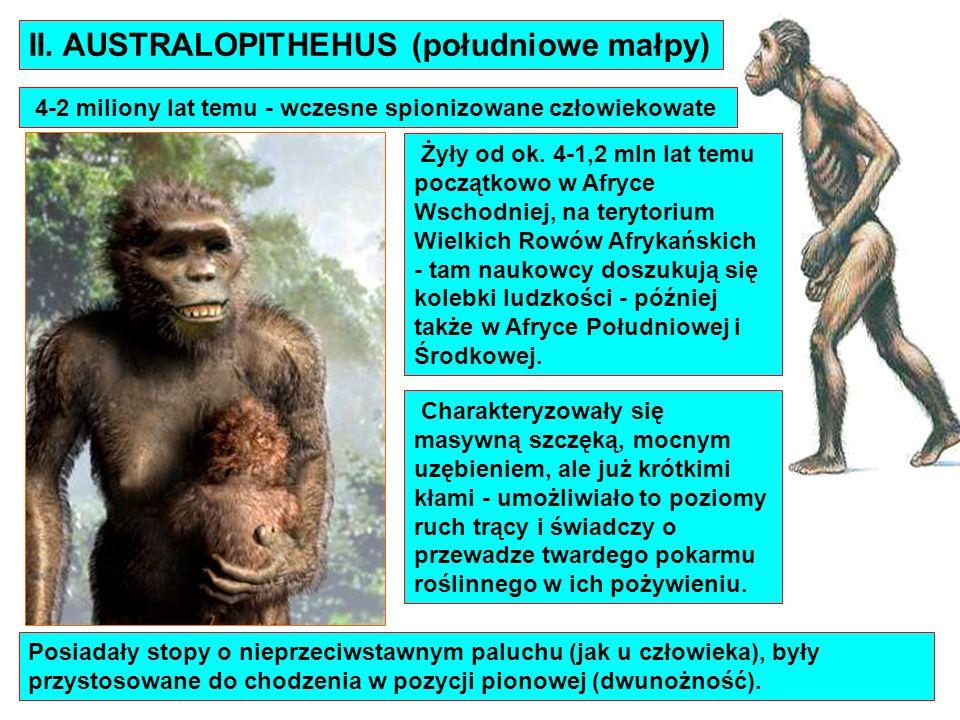 4-2 miliony lat temu - wczesne spionizowane człowiekowate II. AUSTRALOPITHEHUS (południowe małpy) Posiadały stopy o nieprzeciwstawnym paluchu (jak u c