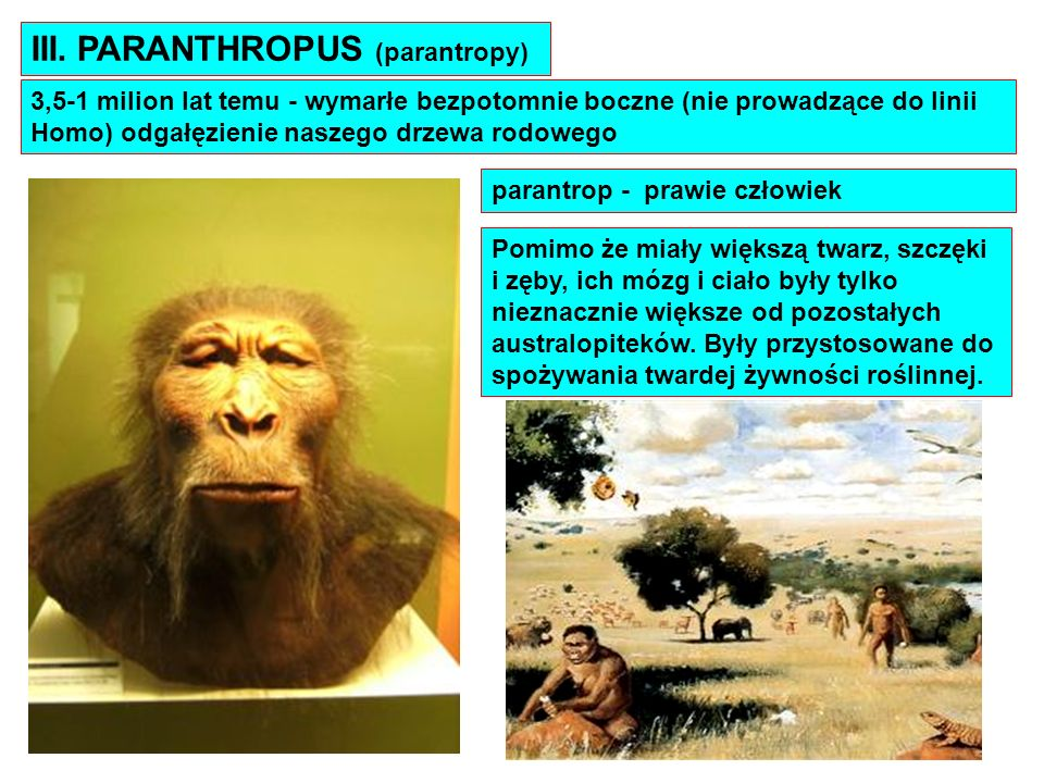 III. PARANTHROPUS (parantropy) 3,5-1 milion lat temu - wymarłe bezpotomnie boczne (nie prowadzące do linii Homo) odgałęzienie naszego drzewa rodowego