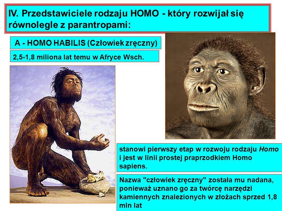 IV. Przedstawiciele rodzaju HOMO - który rozwijał się równolegle z parantropami: 2,5-1,8 miliona lat temu w Afryce Wsch. stanowi pierwszy etap w rozwo