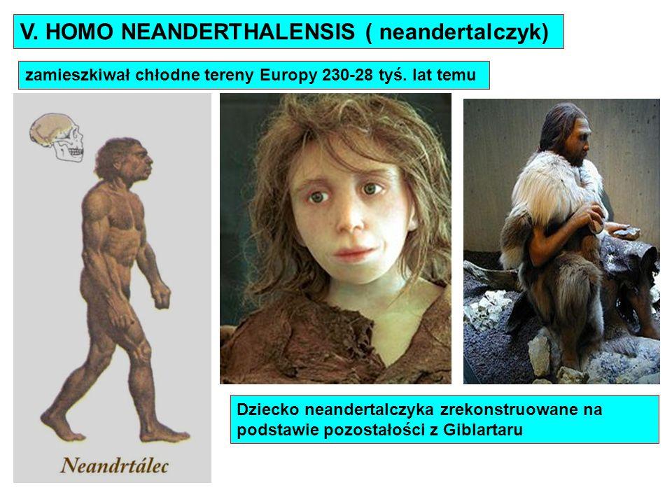 V. HOMO NEANDERTHALENSIS ( neandertalczyk) zamieszkiwał chłodne tereny Europy 230-28 tyś. lat temu Dziecko neandertalczyka zrekonstruowane na podstawi