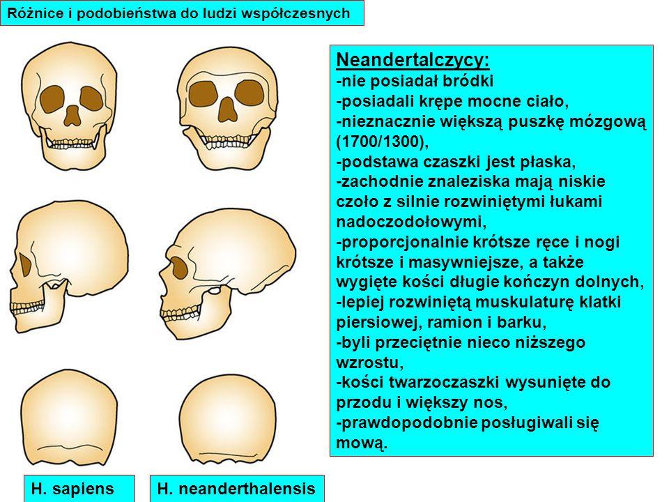 Neandertalczycy: -nie posiadał bródki -posiadali krępe mocne ciało, -nieznacznie większą puszkę mózgową (1700/1300), -podstawa czaszki jest płaska, -z