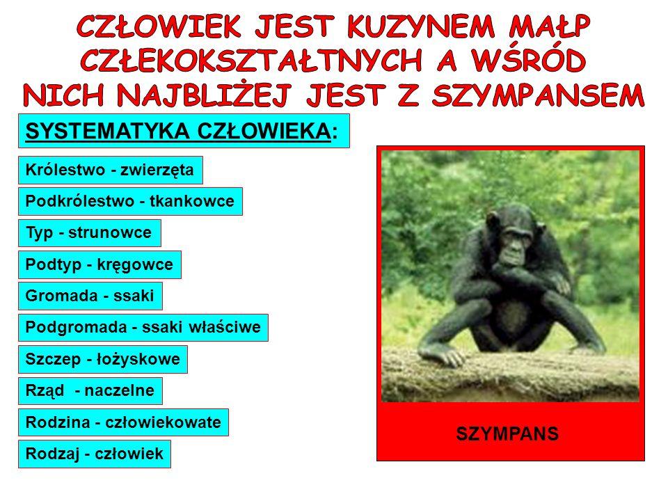 SYSTEMATYKA CZŁOWIEKA: Królestwo - zwierzęta Podkrólestwo - tkankowce Typ - strunowce Podtyp - kręgowce Gromada - ssaki Podgromada - ssaki właściwe Sz