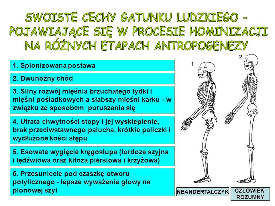 1. Spionizowana postawa 2. Dwunożny chód 3. Silny rozwój mięśnia brzuchatego łydki i mięśni pośladkowych a słabszy mięśni karku - w związku ze sposobe