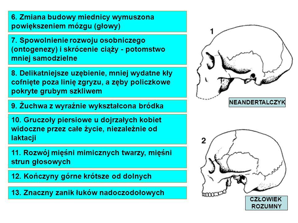 6. Zmiana budowy miednicy wymuszona powiększeniem mózgu (głowy) 7. Spowolnienie rozwoju osobniczego (ontogenezy) i skrócenie ciąży - potomstwo mniej s