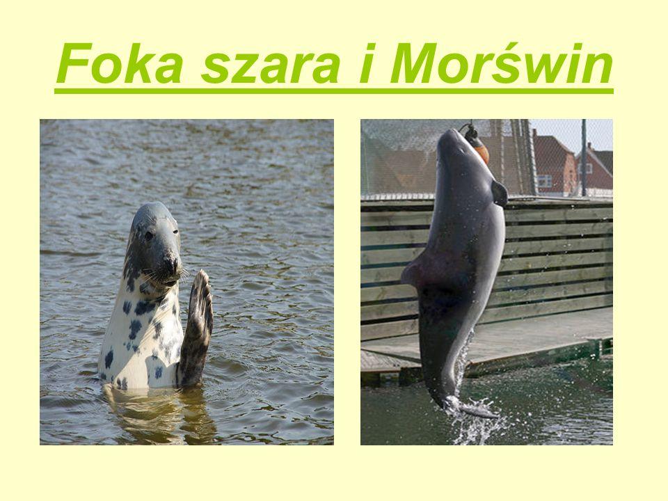 Foka szara i Morświn