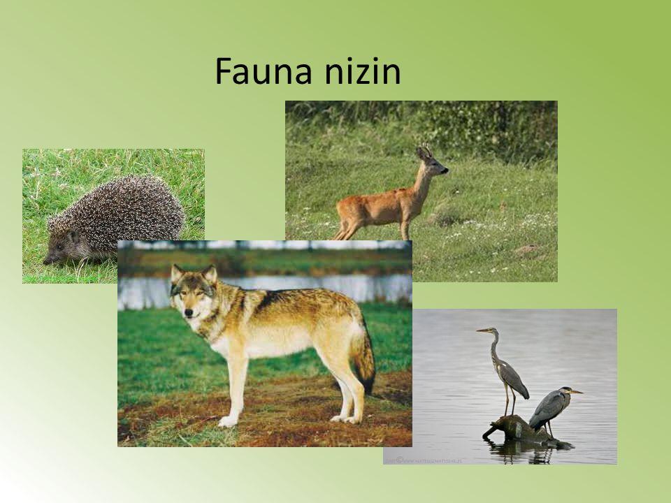 Fauna nizin