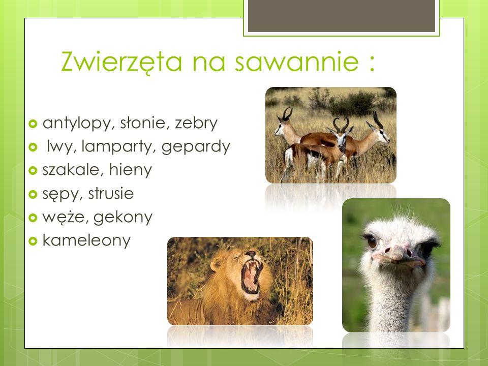 Zwierzęta na sawannie : antylopy, słonie, zebry lwy, lamparty, gepardy szakale, hieny sępy, strusie węże, gekony kameleony