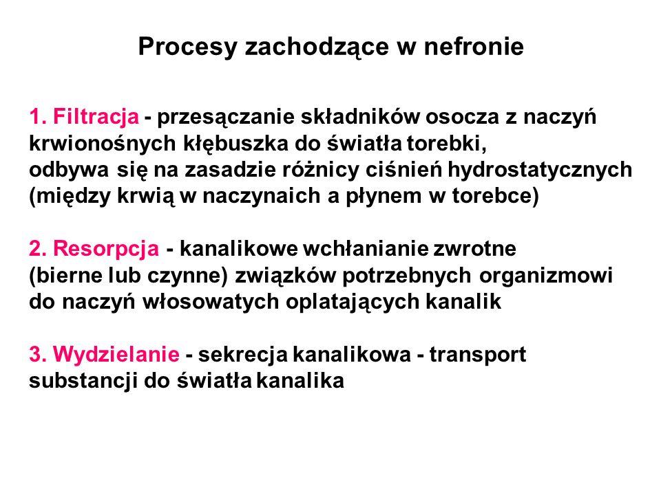 Procesy zachodzące w nefronie 1. Filtracja - przesączanie składników osocza z naczyń krwionośnych kłębuszka do światła torebki, odbywa się na zasadzie