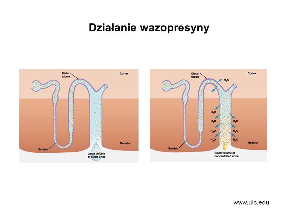 www.uic.edu Działanie wazopresyny