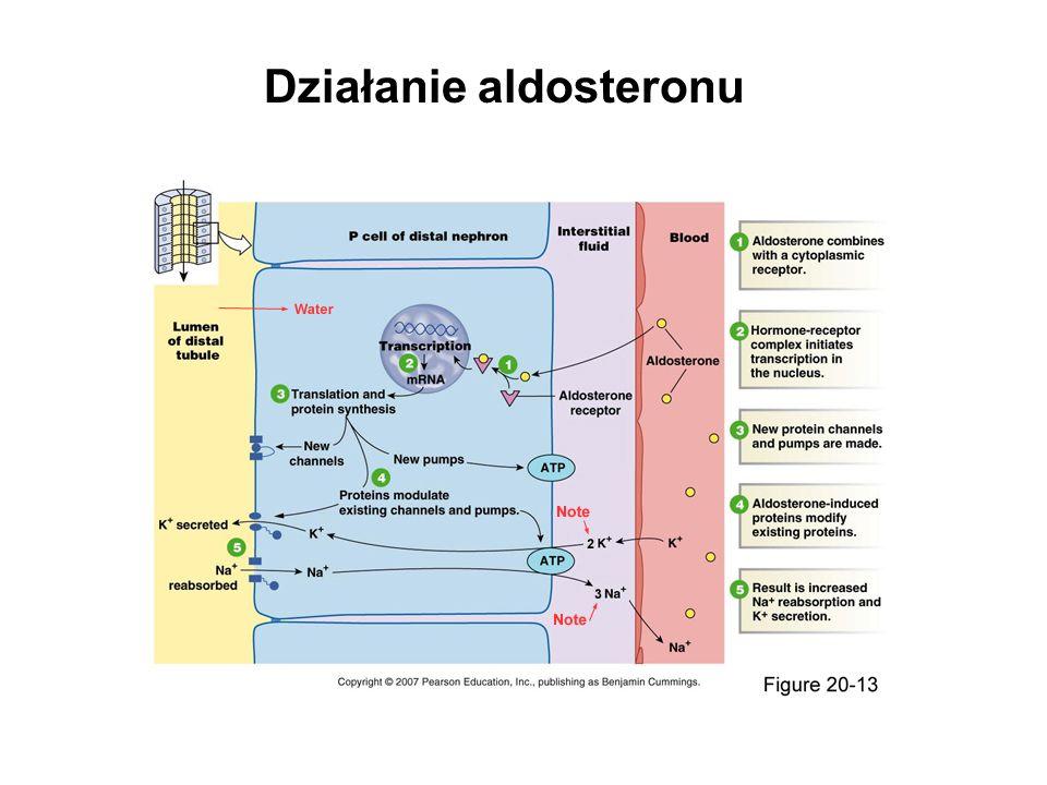 Działanie aldosteronu