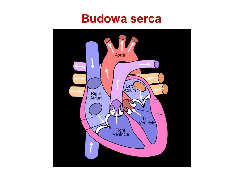 Budowa mięśnia sercowego