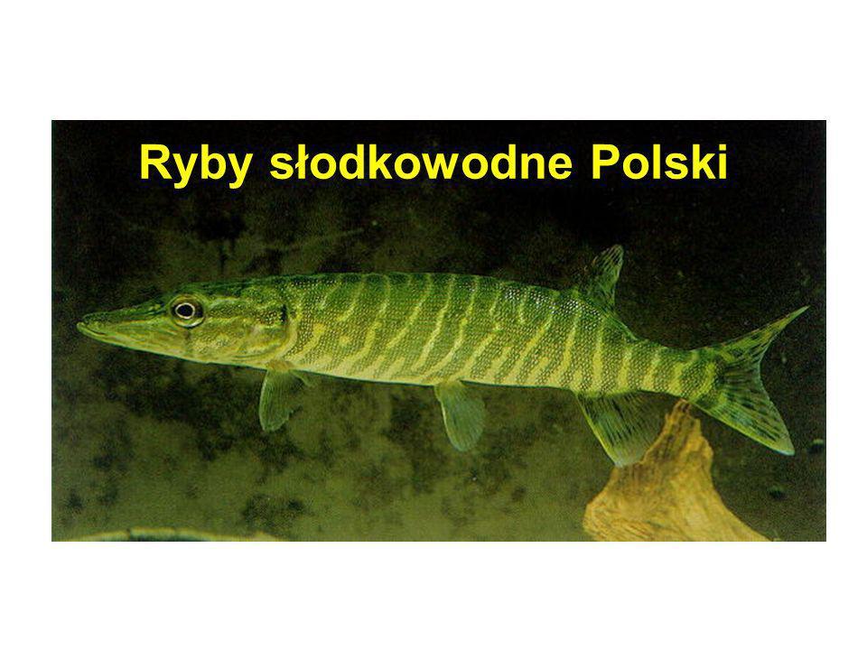 Sum (Silurus glanis) Występuje w dużych rzekach i zbiornikach zaporowych (rzadko w jeziorach), ciepłolubny, największa ryba słodkowodna Europy (max.