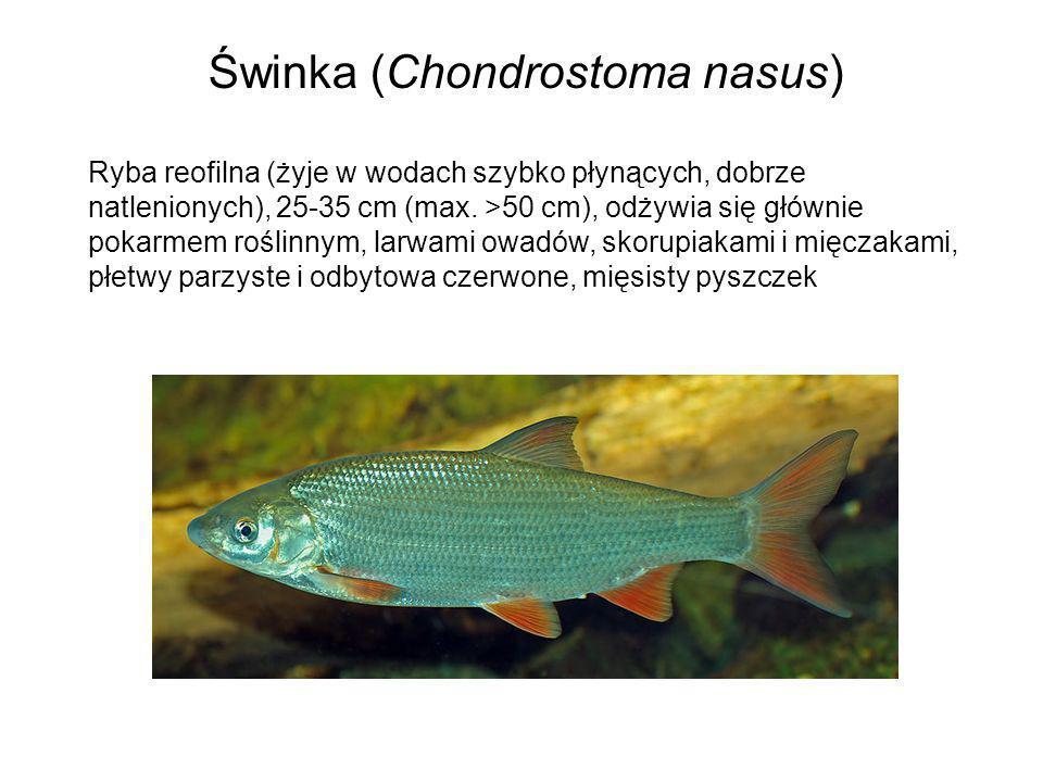 Świnka (Chondrostoma nasus) Ryba reofilna (żyje w wodach szybko płynących, dobrze natlenionych), 25-35 cm (max. >50 cm), odżywia się głównie pokarmem