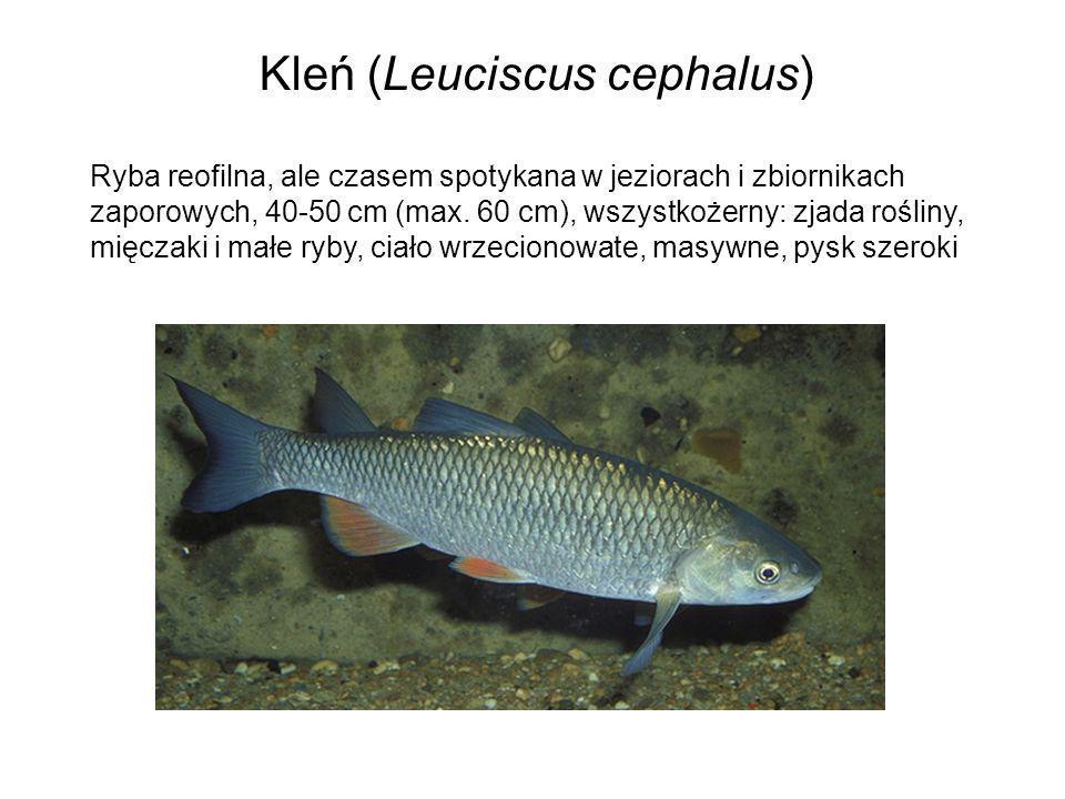 Kleń (Leuciscus cephalus) Ryba reofilna, ale czasem spotykana w jeziorach i zbiornikach zaporowych, 40-50 cm (max. 60 cm), wszystkożerny: zjada roślin