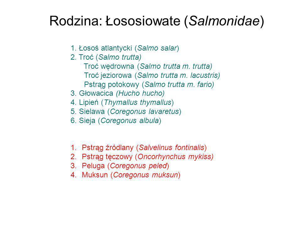 1. Łosoś atlantycki (Salmo salar) 2. Troć (Salmo trutta) Troć wędrowna (Salmo trutta m. trutta) Troć jeziorowa (Salmo trutta m. lacustris) Pstrąg poto