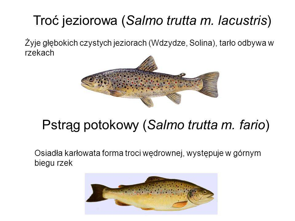 Troć jeziorowa (Salmo trutta m. lacustris) Żyje głębokich czystych jeziorach (Wdzydze, Solina), tarło odbywa w rzekach Pstrąg potokowy (Salmo trutta m