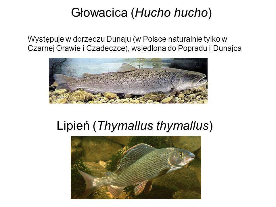Głowacica (Hucho hucho) Występuje w dorzeczu Dunaju (w Polsce naturalnie tylko w Czarnej Orawie i Czadeczce), wsiedlona do Popradu i Dunajca Lipień (T