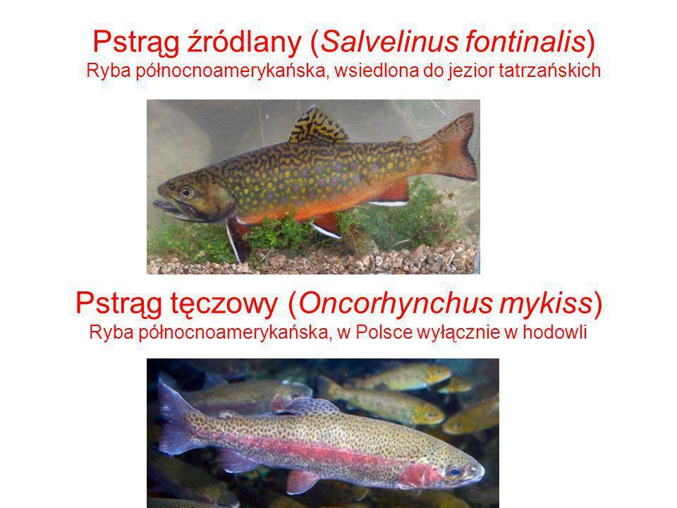 Pstrąg źródlany (Salvelinus fontinalis) Ryba północnoamerykańska, wsiedlona do jezior tatrzańskich Pstrąg tęczowy (Oncorhynchus mykiss) Ryba północnoa