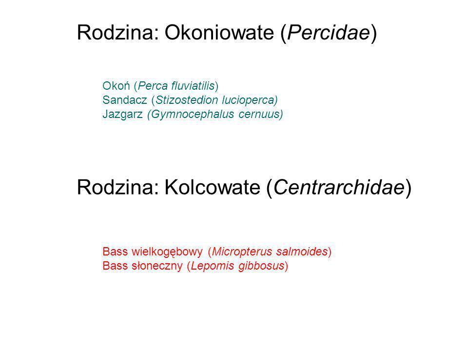 Okoń (Perca fluviatilis) Sandacz (Stizostedion lucioperca) Jazgarz (Gymnocephalus cernuus) Rodzina: Okoniowate (Percidae) Rodzina: Kolcowate (Centrarc