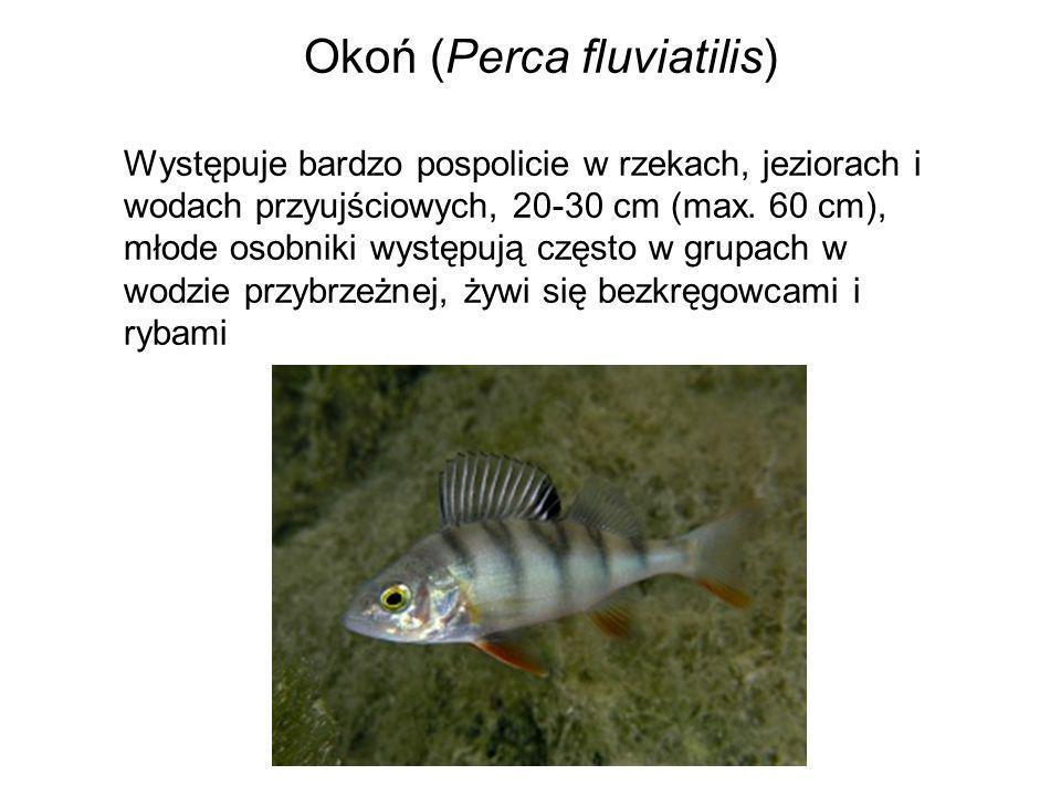 Okoń (Perca fluviatilis) Występuje bardzo pospolicie w rzekach, jeziorach i wodach przyujściowych, 20-30 cm (max. 60 cm), młode osobniki występują czę