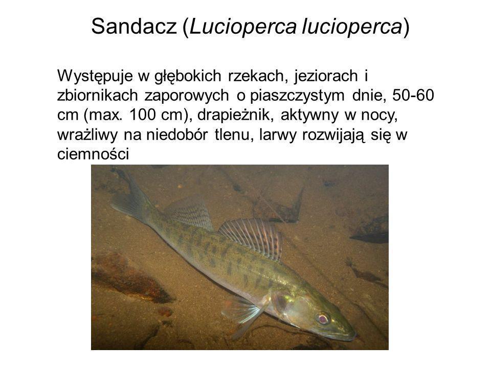 Sandacz (Lucioperca lucioperca) Występuje w głębokich rzekach, jeziorach i zbiornikach zaporowych o piaszczystym dnie, 50-60 cm (max. 100 cm), drapież