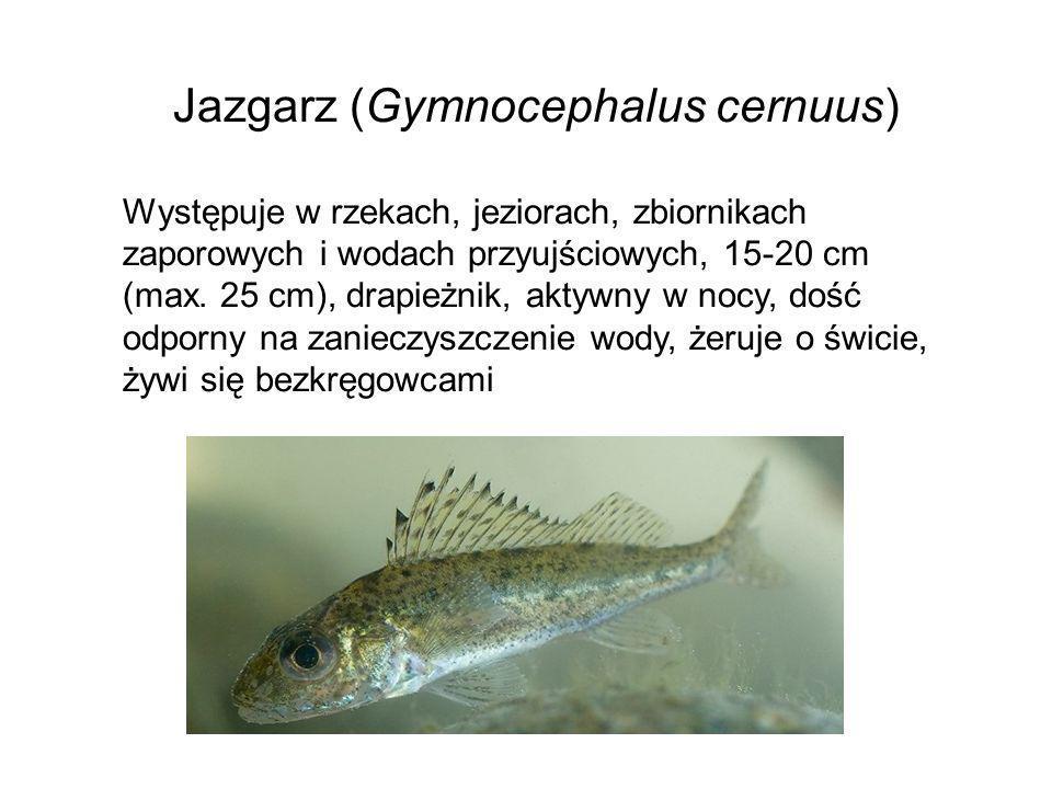 Jazgarz (Gymnocephalus cernuus) Występuje w rzekach, jeziorach, zbiornikach zaporowych i wodach przyujściowych, 15-20 cm (max. 25 cm), drapieżnik, akt