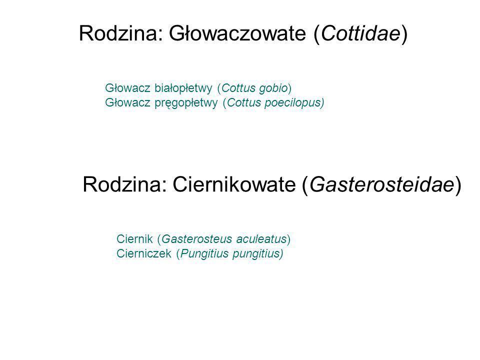 Głowacz białopłetwy (Cottus gobio) Głowacz pręgopłetwy (Cottus poecilopus) Rodzina: Głowaczowate (Cottidae) Ciernik (Gasterosteus aculeatus) Ciernicze