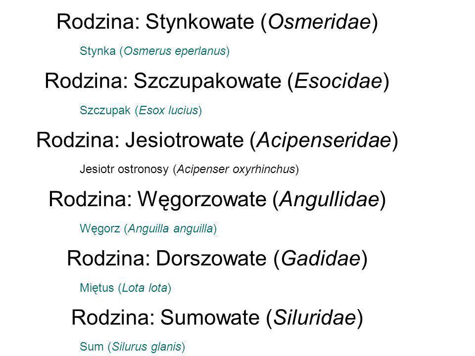Rodzina: Stynkowate (Osmeridae) Stynka (Osmerus eperlanus) Rodzina: Szczupakowate (Esocidae) Szczupak (Esox lucius) Rodzina: Jesiotrowate (Acipenserid