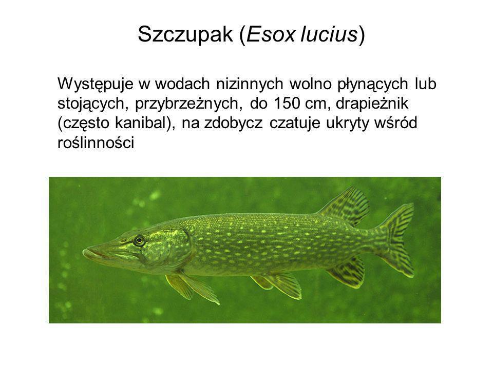 Szczupak (Esox lucius) Występuje w wodach nizinnych wolno płynących lub stojących, przybrzeżnych, do 150 cm, drapieżnik (często kanibal), na zdobycz c