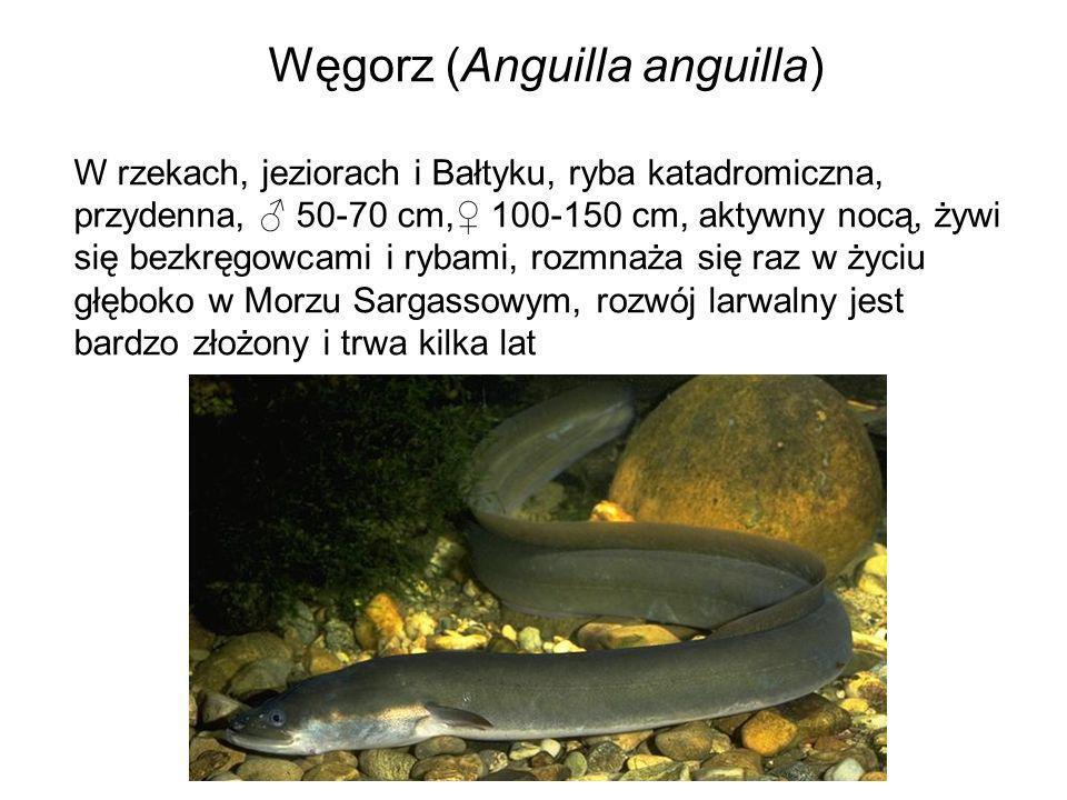 Węgorz (Anguilla anguilla) W rzekach, jeziorach i Bałtyku, ryba katadromiczna, przydenna, 50-70 cm, 100-150 cm, aktywny nocą, żywi się bezkręgowcami i