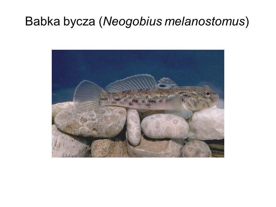 Babka bycza (Neogobius melanostomus)