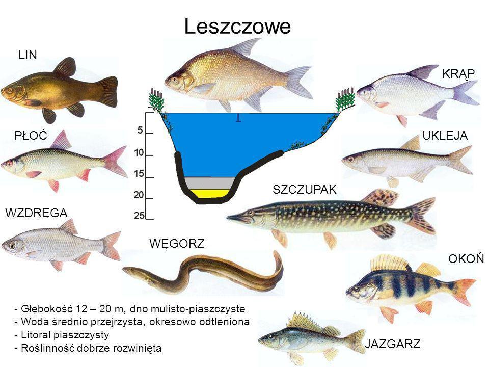 - Głębokość 12 – 20 m, dno mulisto-piaszczyste - Woda średnio przejrzysta, okresowo odtleniona - Litoral piaszczysty - Roślinność dobrze rozwinięta Le