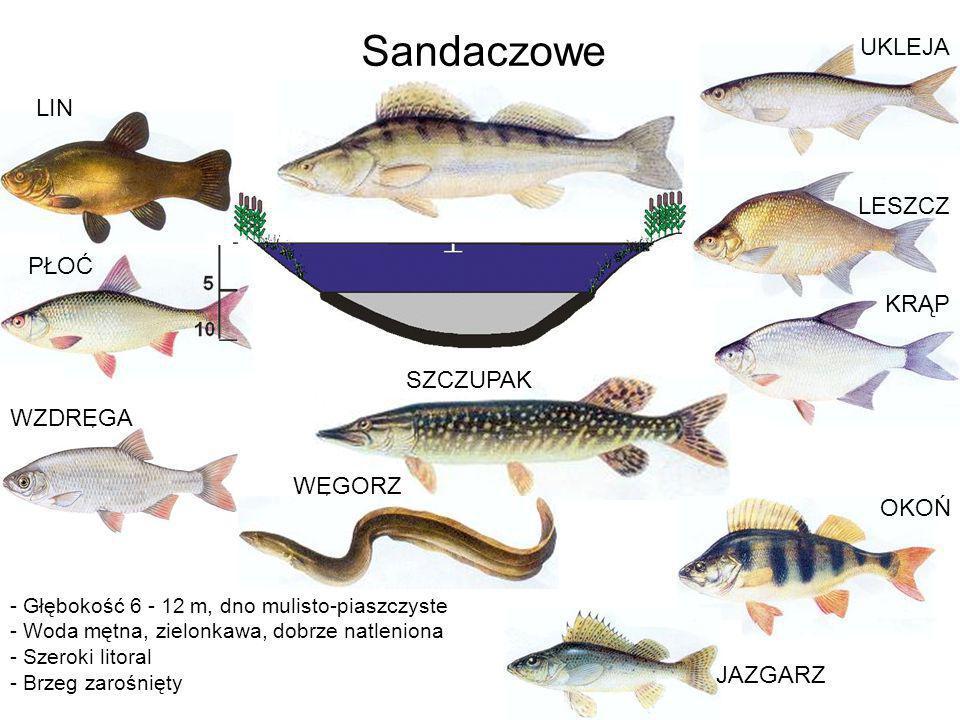 LESZCZ - Głębokość 6 - 12 m, dno mulisto-piaszczyste - Woda mętna, zielonkawa, dobrze natleniona - Szeroki litoral - Brzeg zarośnięty Sandaczowe KRĄP