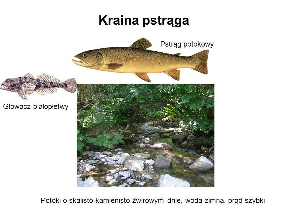 Kraina pstrąga Potoki o skalisto-kamienisto-żwirowym dnie, woda zimna, prąd szybki Pstrąg potokowy Głowacz białopłetwy