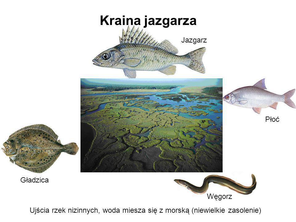 Kraina jazgarza Jazgarz Płoć Węgorz Ujścia rzek nizinnych, woda miesza się z morską (niewielkie zasolenie) Gładzica