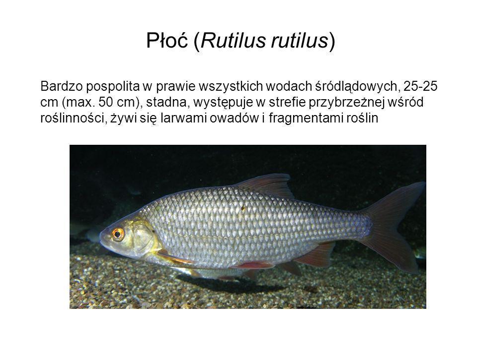 Płoć (Rutilus rutilus) Bardzo pospolita w prawie wszystkich wodach śródlądowych, 25-25 cm (max. 50 cm), stadna, występuje w strefie przybrzeżnej wśród