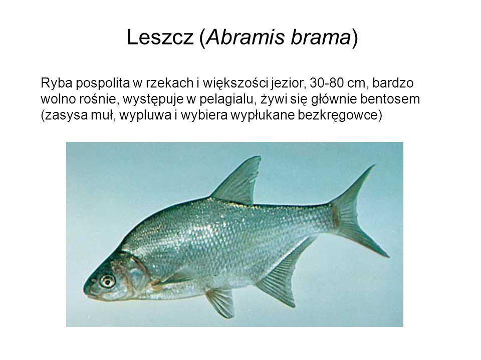 Leszcz (Abramis brama) Ryba pospolita w rzekach i większości jezior, 30-80 cm, bardzo wolno rośnie, występuje w pelagialu, żywi się głównie bentosem (