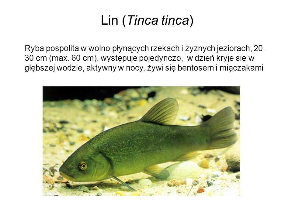 Lin (Tinca tinca) Ryba pospolita w wolno płynących rzekach i żyznych jeziorach, 20- 30 cm (max. 60 cm), występuje pojedynczo, w dzień kryje się w głęb
