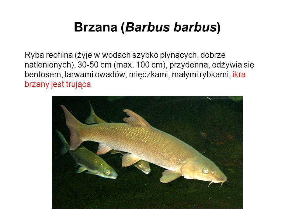 Brzana (Barbus barbus) Ryba reofilna (żyje w wodach szybko płynących, dobrze natlenionych), 30-50 cm (max. 100 cm), przydenna, odżywia się bentosem, l
