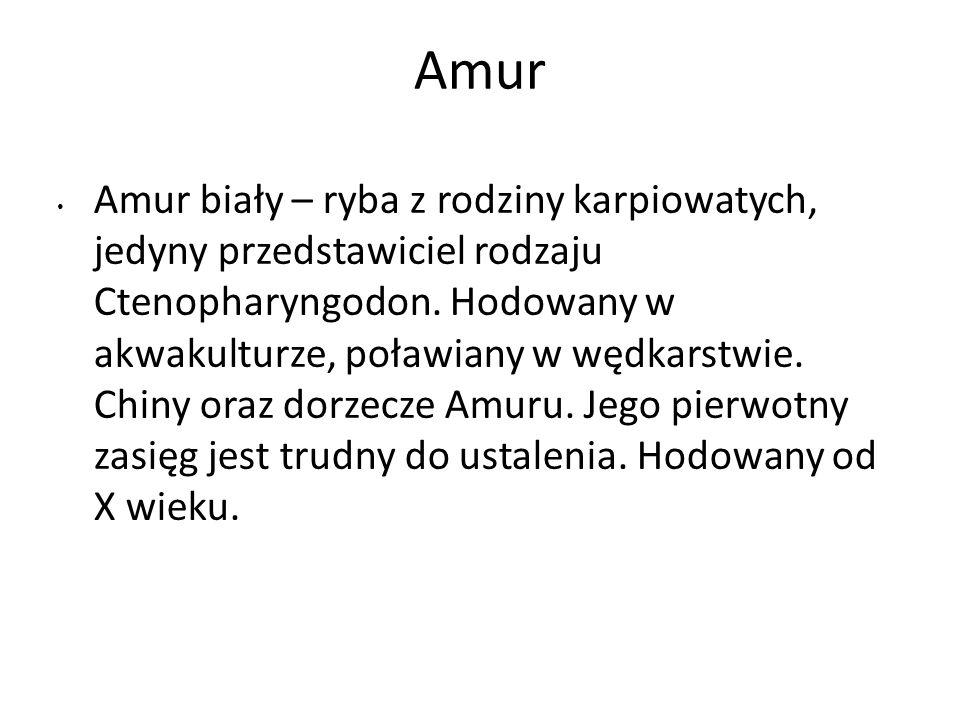 Amur Amur biały – ryba z rodziny karpiowatych, jedyny przedstawiciel rodzaju Ctenopharyngodon. Hodowany w akwakulturze, poławiany w wędkarstwie. Chiny