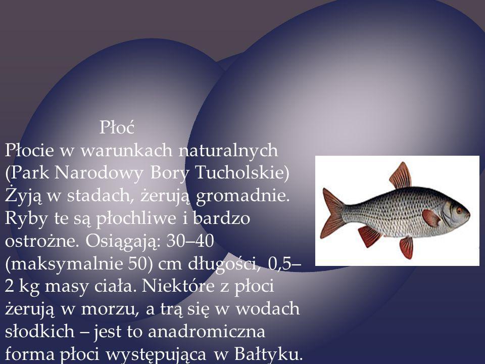 Płoć Płocie w warunkach naturalnych (Park Narodowy Bory Tucholskie) Żyją w stadach, żerują gromadnie. Ryby te są płochliwe i bardzo ostrożne. Osiągają