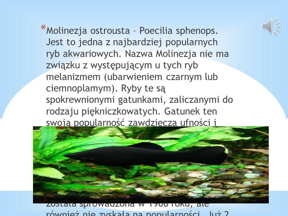 * Molinezja ostrousta – Poecilia sphenops. Jest to jedna z najbardziej popularnych ryb akwariowych. Nazwa Molinezja nie ma związku z występującym u ty
