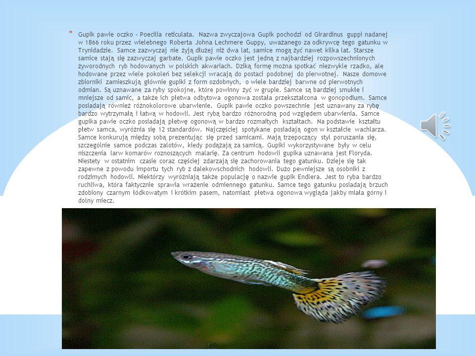 * Gupik pawie oczko – Poecilia reticulata. Nazwa zwyczajowa Gupik pochodzi od Girardinus guppi nadanej w 1866 roku przez wielebnego Roberta Johna Lech