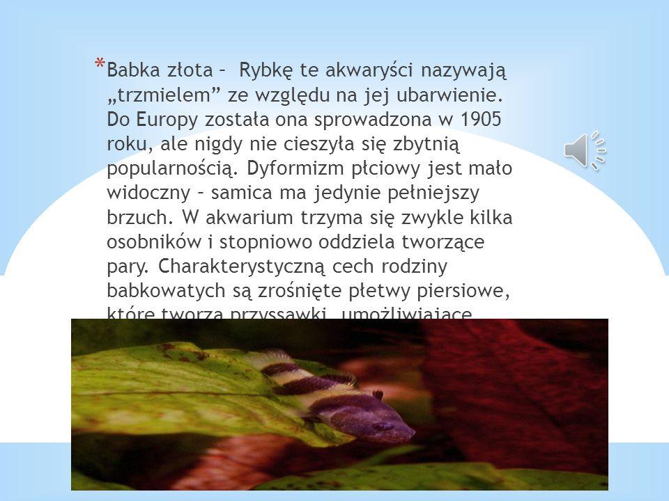* Babka złota – Rybkę te akwaryści nazywają trzmielem ze względu na jej ubarwienie. Do Europy została ona sprowadzona w 1905 roku, ale nigdy nie ciesz
