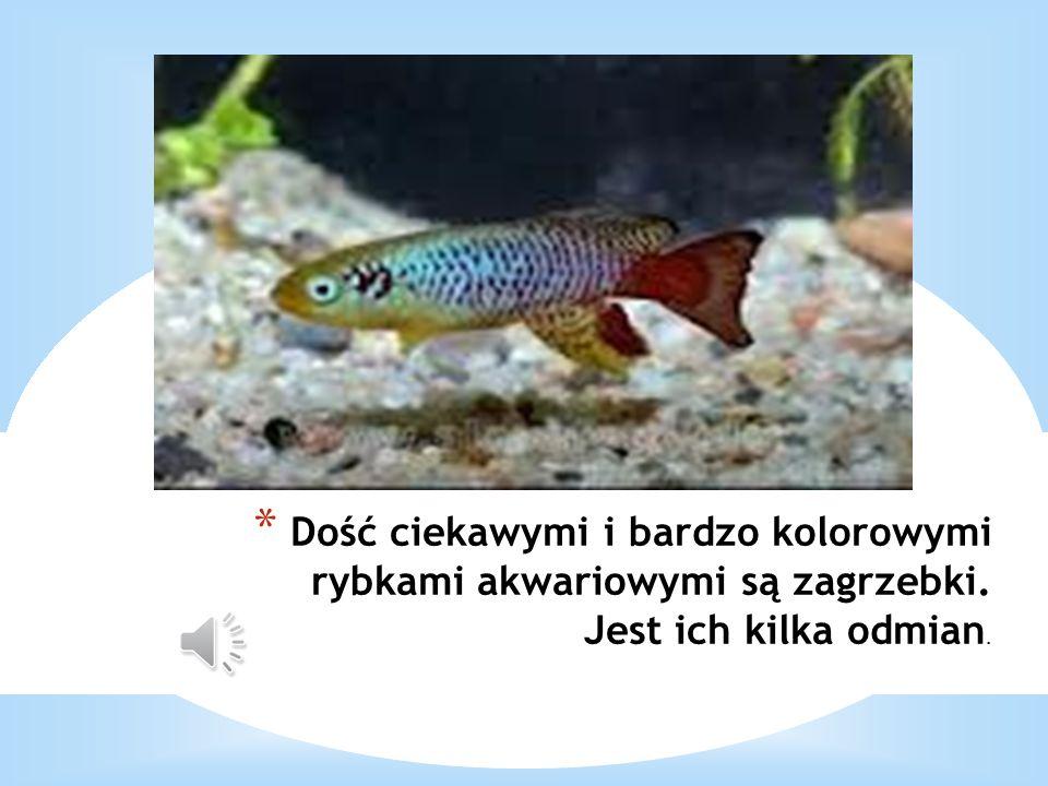 * Dość ciekawymi i bardzo kolorowymi rybkami akwariowymi są zagrzebki. Jest ich kilka odmian.