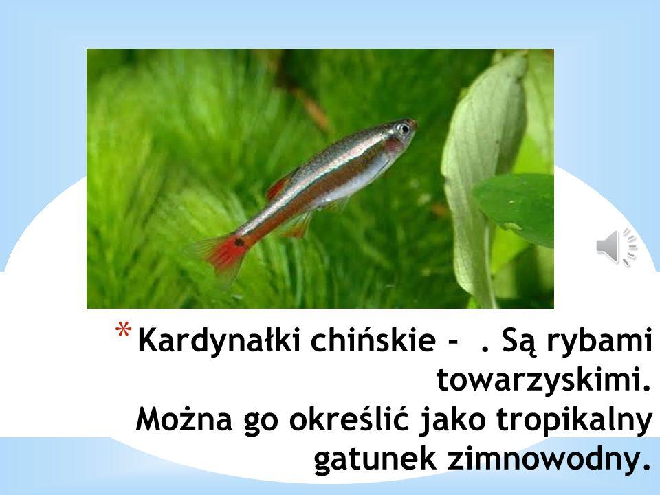 * Kardynałki chińskie -. Są rybami towarzyskimi. Można go określić jako tropikalny gatunek zimnowodny.