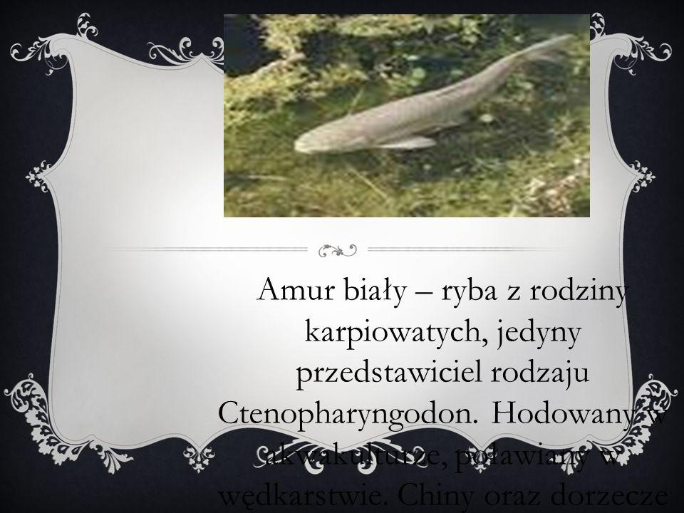 Amur biały – ryba z rodziny karpiowatych, jedyny przedstawiciel rodzaju Ctenopharyngodon. Hodowany w akwakulturze, poławiany w wędkarstwie. Chiny oraz